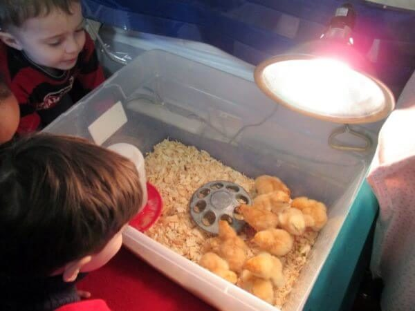 Children watch newborn chicks in classroom